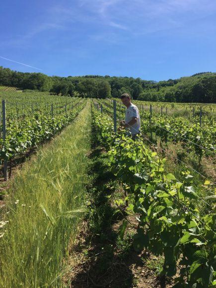 Relevage des vignes en juin